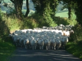 Driving Lleyn Ewe lambs back to Cragg Farm