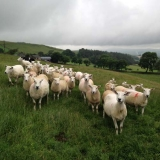 Lleyn Ewes and Lambs July