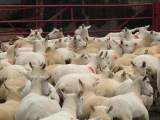 Lleyn ewes in pens