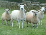 Lleyn ewes with Hampshire lambs