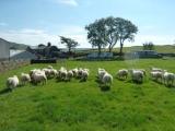 Texel x lambs