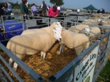 Sheep ready for showing